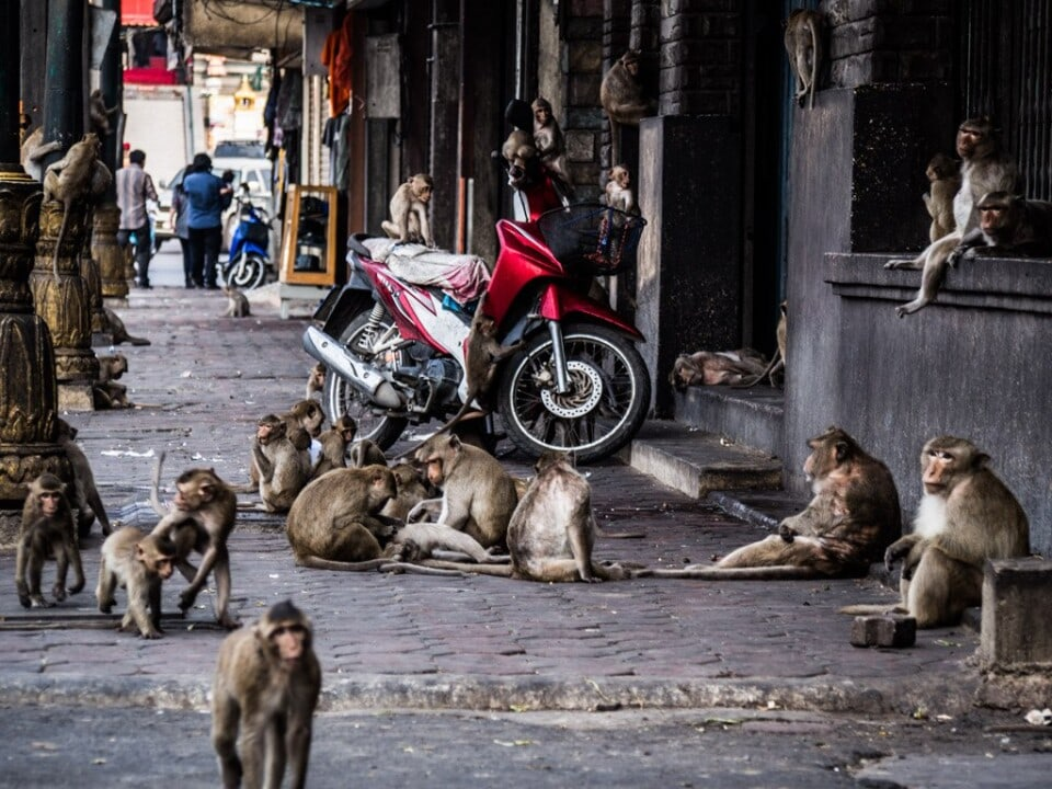 street filled with monkeys in lopburi thailand
