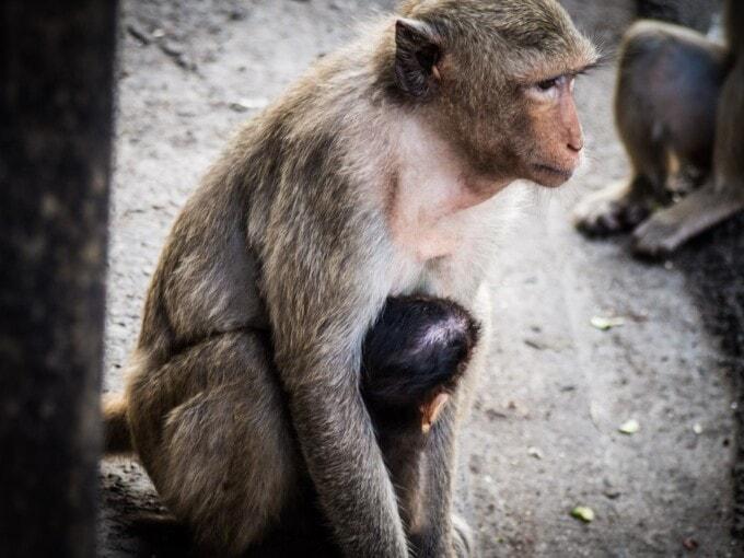 thailand two weeks monkeys in lopburi