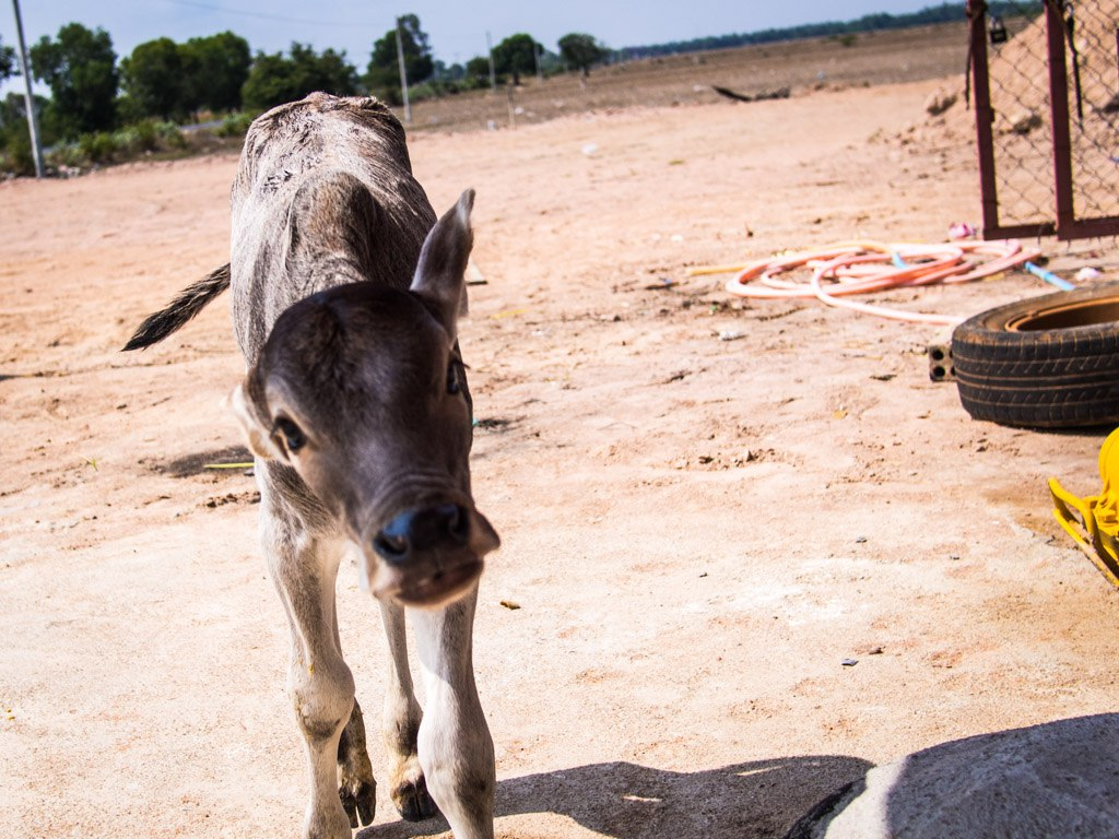 Baby cow at the gas station, near Phnom Penh.