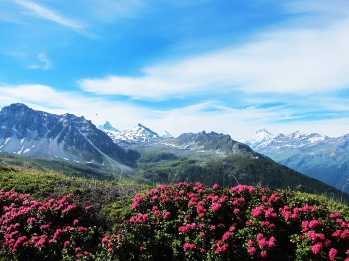 pink meadow flowers with a jagged alpine backdrop near zinal