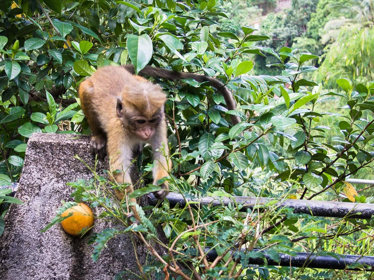 Sri Lanka travel monkeys