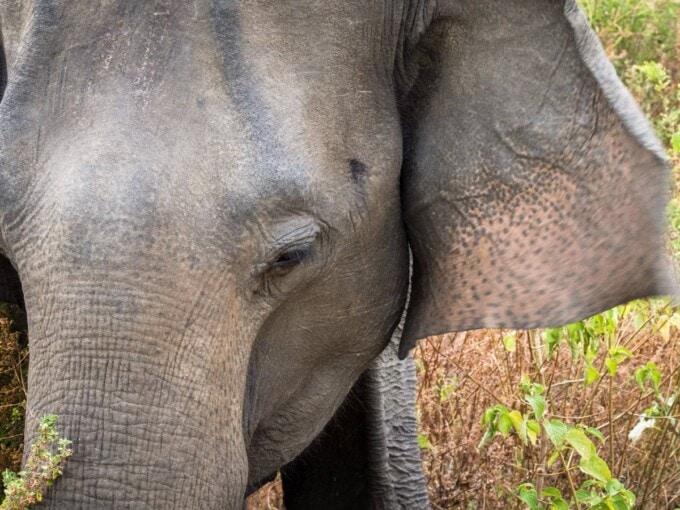 elephant watching Sri Lanka