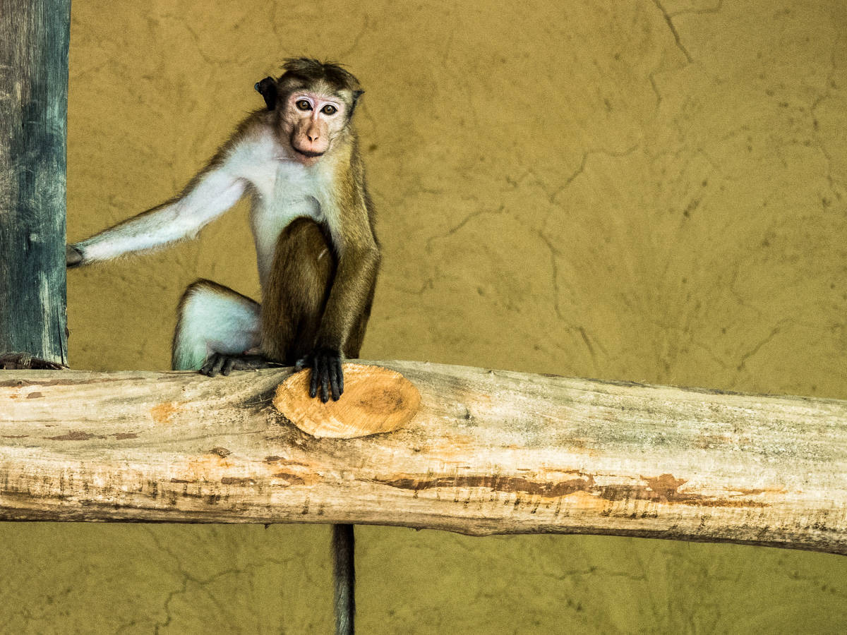 visit Sri Lanka monkeys