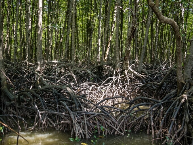 healthy mangrove forest in the mekong delta