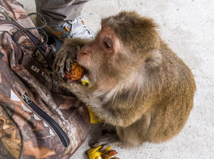a monkey eats a piece of fruit