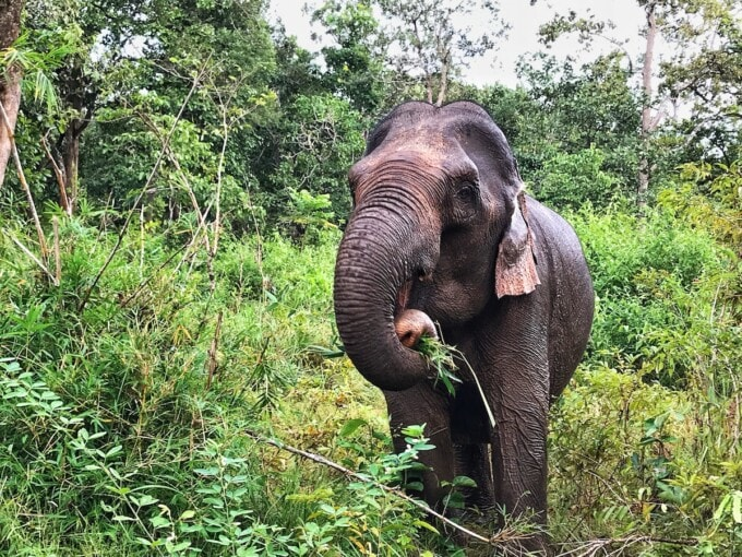 elephant at a sanctuary in Cambodia