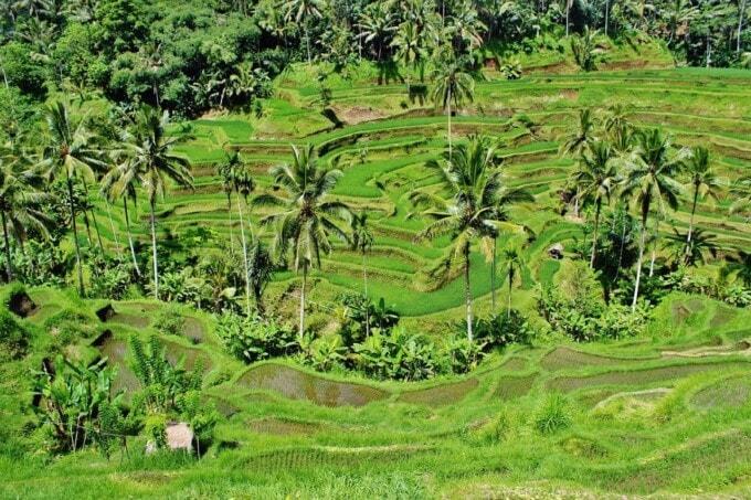 ubud bali rice paddy