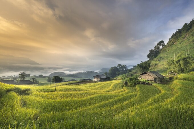 green rice field landscape in vietnam