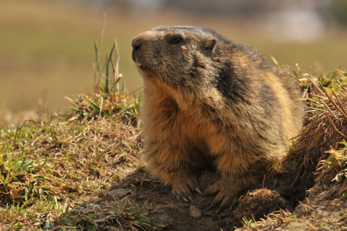 marmot in the grass