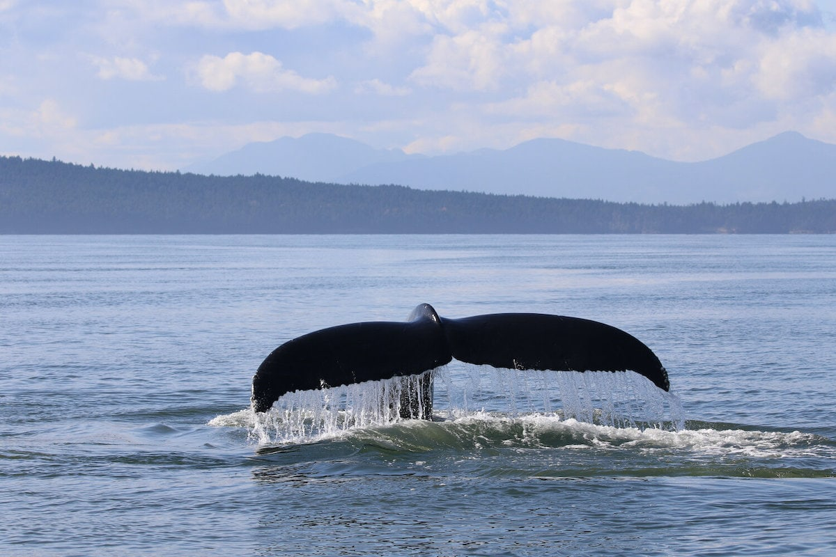 whale tail coming out of the water