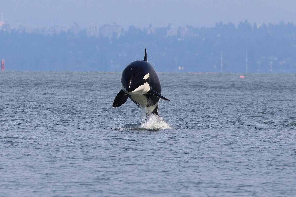 orca jumping over the water in british columbia