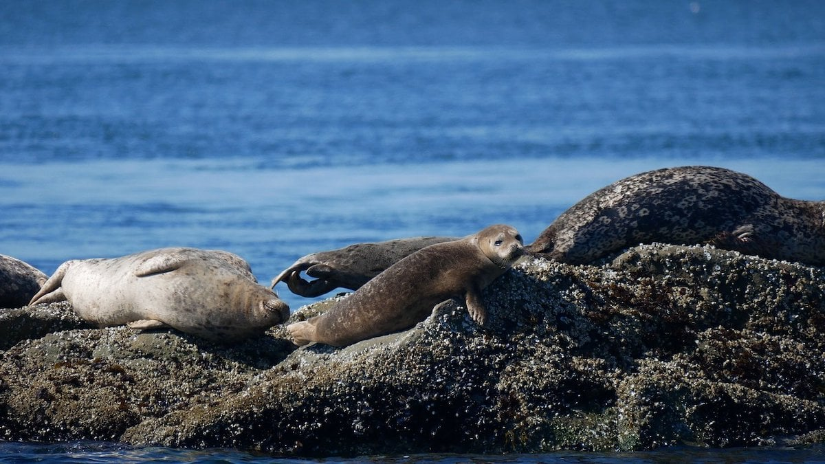 harbour seals on the rocks near nanaimo