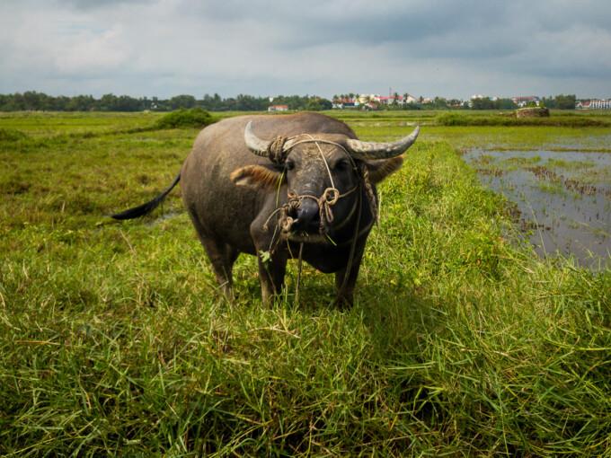 water buffalo in the fields near hoi an