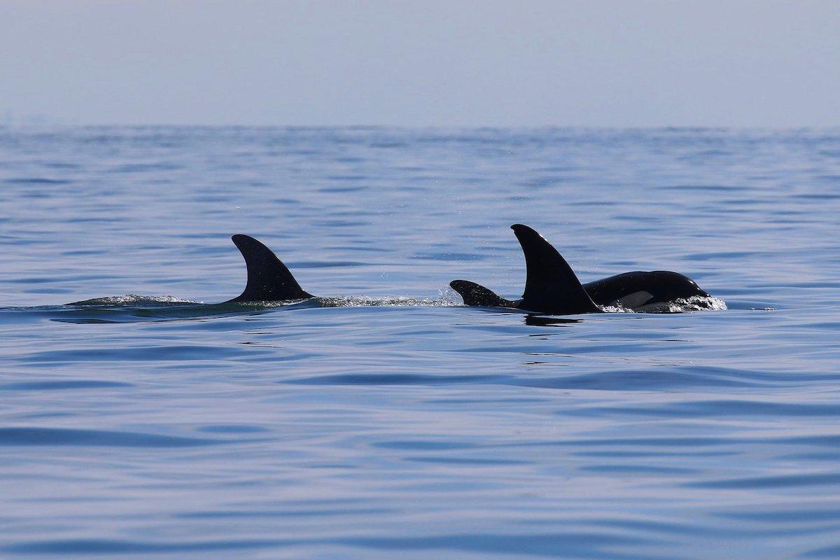 three killer whales on a calm blue ocean