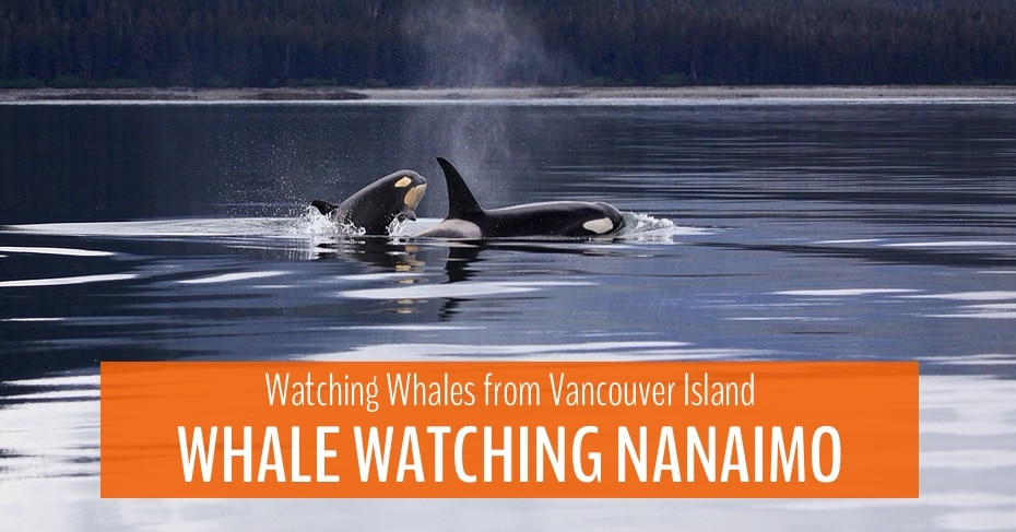 main blog image for whale watching nanaimo with two orcas in the water