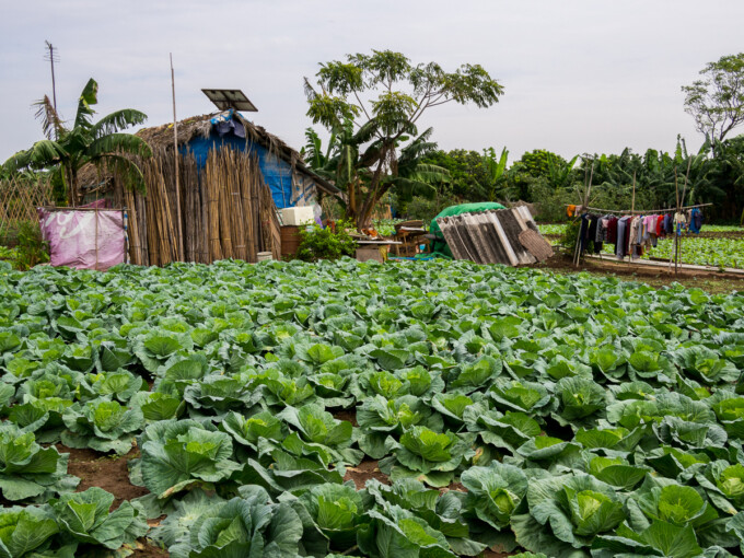 banana island cabbage field