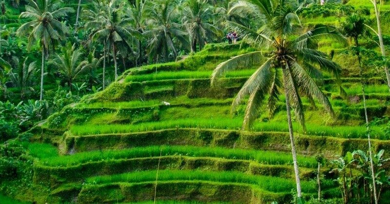 bali featured image rice field
