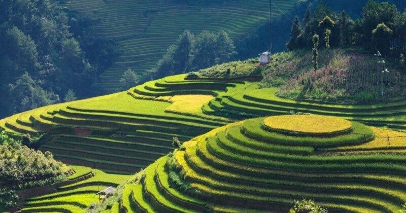 rice fields in mountains vietnam