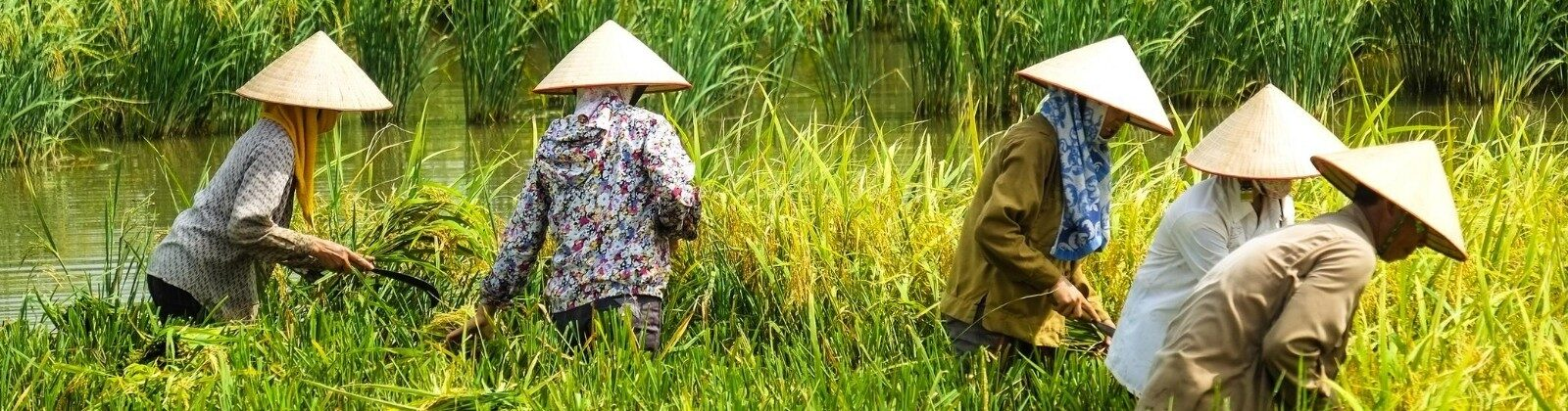 women harvesting rice vietnam
