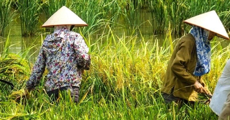 women harvesting rice vietnam